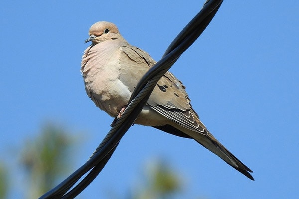 Mourning Dove on electrical wire