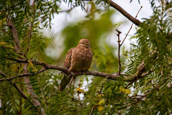 Mourning Dove on tree