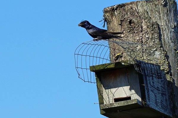 Purple Martin bird