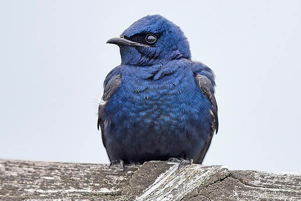 Purple Martin front view