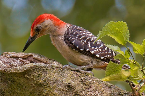 Red-bellied Woodpecker searching for insects on tree branch