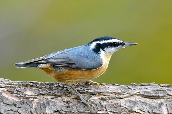 Red-breasted Nuthatch bird