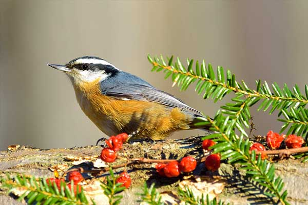 Red-breasted Nuthatch in pine tree