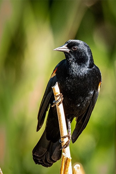 Red-winged Blackbird front view