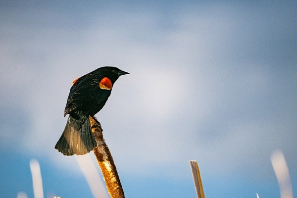 Red-winged Blackbird on cattail plant
