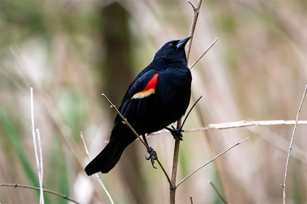 Red-winged Blackbird sideview