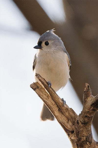Tufted Titmouse front view