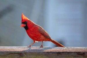 What Colors Attract Cardinals To A Backyard