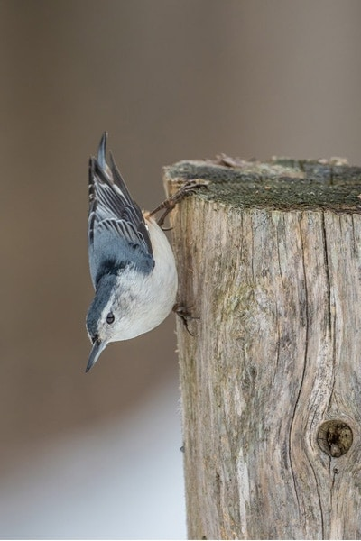 White-breasted nuthatch climbing down tree stump