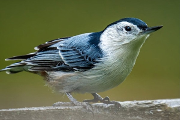 White-breasted nuthatch side view