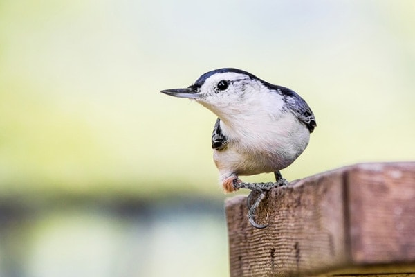 White-breasted nuthatch with green background