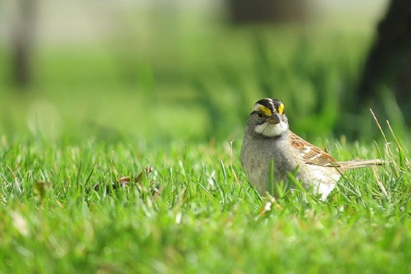 White-throated Sparrow in grass