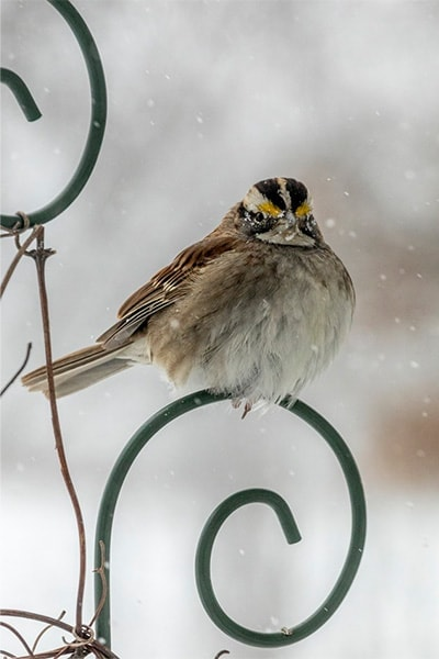 White-throated Sparrow in snow