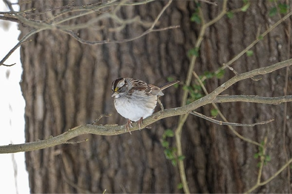 White-throated Sparrow in tree
