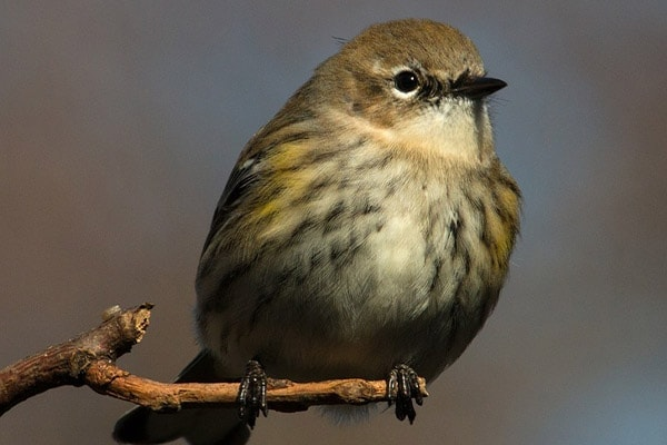 Yellow-Rumped Warbler close-up view