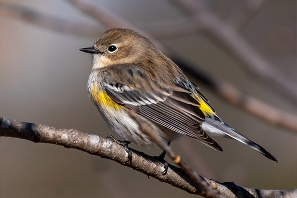 Yellow-Rumped Warbler side view