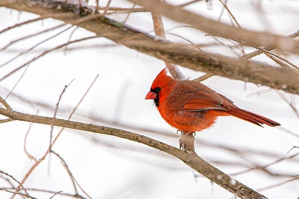 why do cardinals come out in the winter