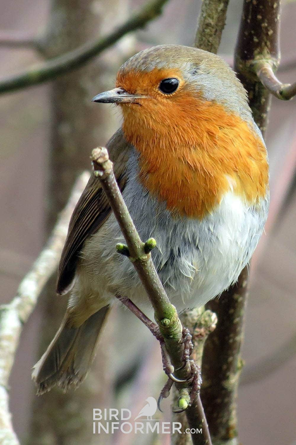 image of a robin during the winter