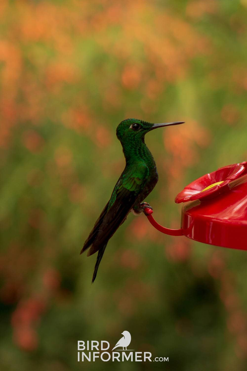 image of hummingbird eating out of nectar birdfeeder