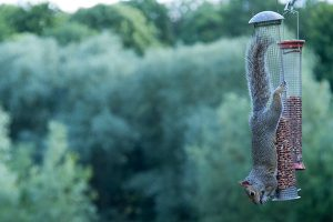 prevent squirrels from eating on bird feeders