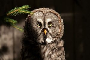 image of a bart owl
