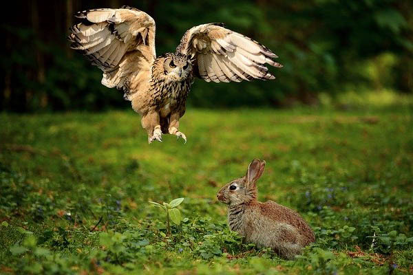 image of an owl hunting a rabbit