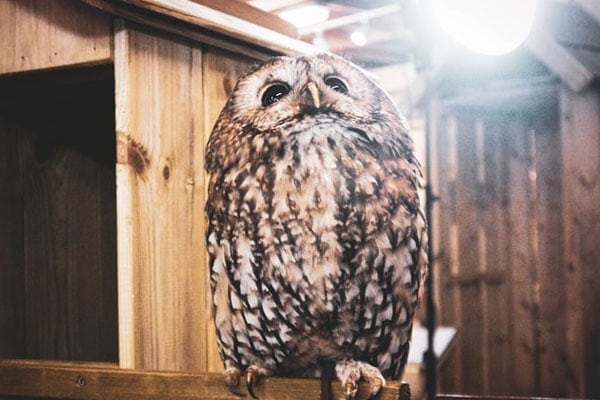 image of an owl perched in front of owl nesting box