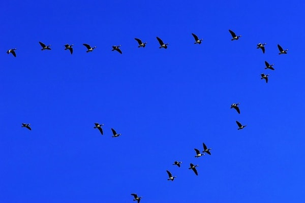 image of geese flying in v-formation