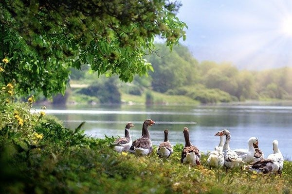 image of wild geese