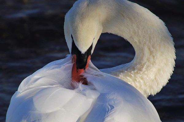 swan cleaning plumage