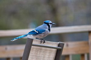 How To Attract Blue Jays