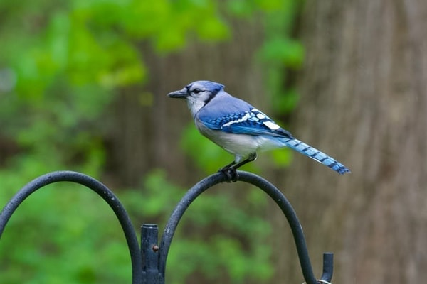 image of a blue jay that is perched