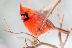 image of a cardinal on branch in winter