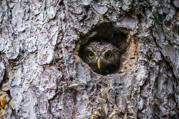 image of an owl in nest