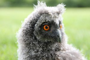 image of an owlet