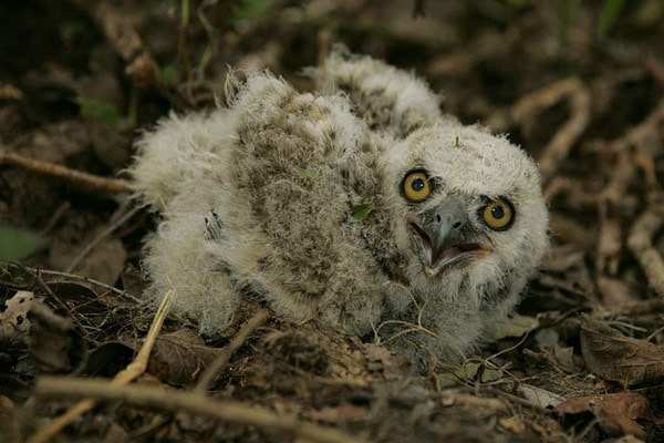 image of baby owl depicting when do owls have babies
